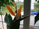 Pflanzenprofil: Strelizie