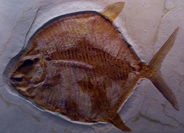 Urzeitmuseum Taufkirchen - Kugelzahnfisch