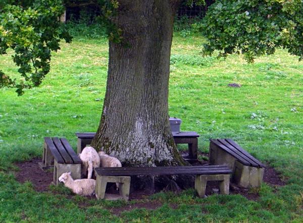 Foto von Schafen unter einem Baum
