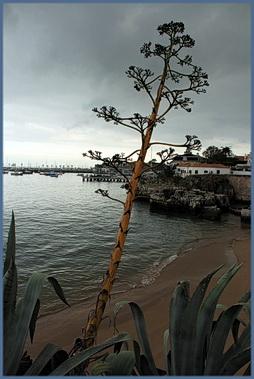 Foto einer Agaven-Blüte am Strand von Cascais