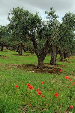 Ein paar Olivenbäume, davor wilder Mohn