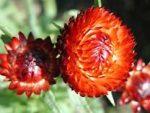 Pflanzenprofil – Strohblume