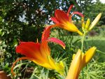 Pflanzenprofil: Taglilie